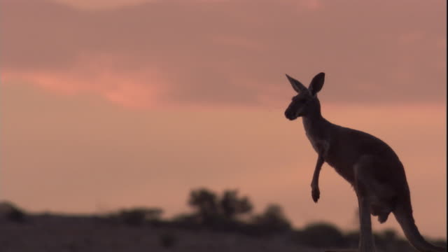 a red kangaroo looks around before hopping away at dusk, new south wales. available in hd. - känguru bildbanksvideor och videomaterial från bakom kulisserna