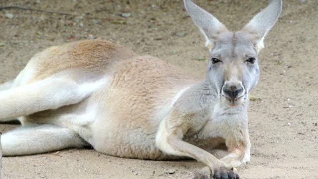 red kangaroo - känguru bildbanksvideor och videomaterial från bakom kulisserna