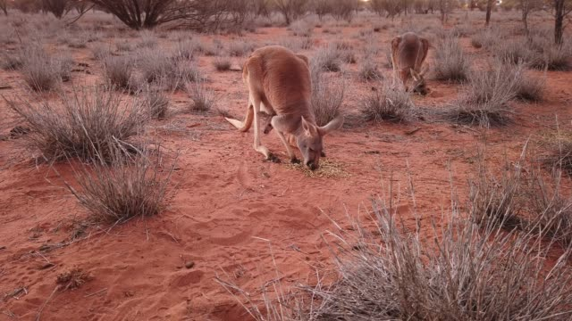 red kangaroo (macropus rufus) with joey in its pouch, walking on the red sand of outback central australia, red center, northern territory, australia, pacific - red stock videos & royalty-free footage