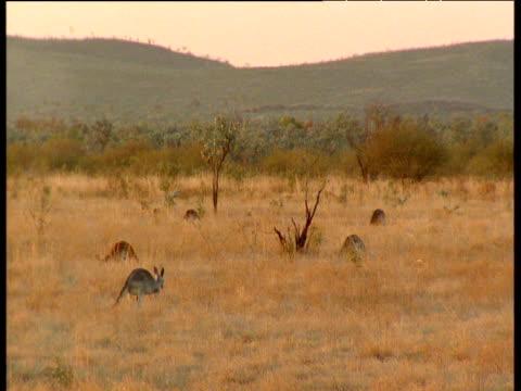 Red Kangaroos graze, Australia