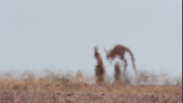 vidéos et rushes de red kangaroos hop across the outback, new south wales. available in hd. - aride