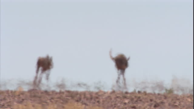 red kangaroos hop across the outback, new south wales. available in hd. - heat haze stock videos & royalty-free footage
