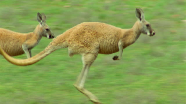 pan 2 red kangaroos jumping in field / flinders ranges, south australia - jumping stock videos & royalty-free footage