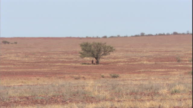 red kangaroos rest in the shade of a tree, new south wales. available in hd. - outback stock videos & royalty-free footage