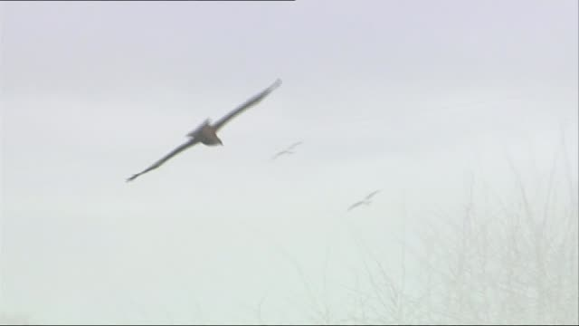 ext various shots red kite birds in flight - rotmilan stock-videos und b-roll-filmmaterial