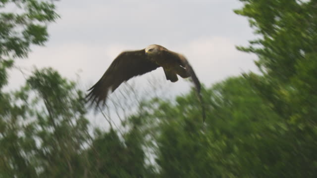 la red kite flies over camera with trees in background - rotmilan stock-videos und b-roll-filmmaterial
