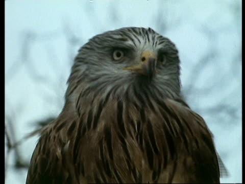 cu red kite (milvus milvus) looking around, wales - rotmilan stock-videos und b-roll-filmmaterial