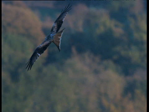 red kite rises, glides and circles on thermals - rotmilan stock-videos und b-roll-filmmaterial