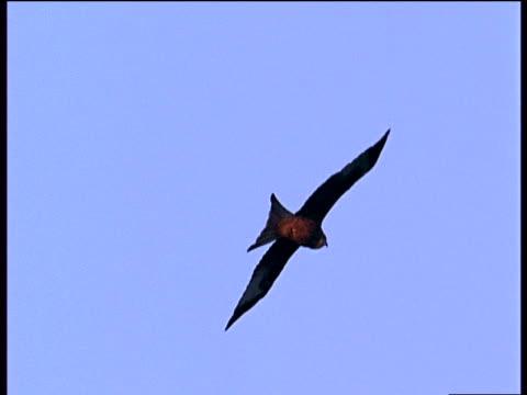 red kite soaring against bright blue sky - rotmilan stock-videos und b-roll-filmmaterial