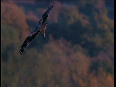 red kite soaring and circling in the air above countryside, wales - rotmilan stock-videos und b-roll-filmmaterial