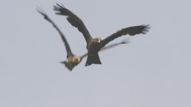 la 2 red kites in flight with clear sky in background - rotmilan stock-videos und b-roll-filmmaterial