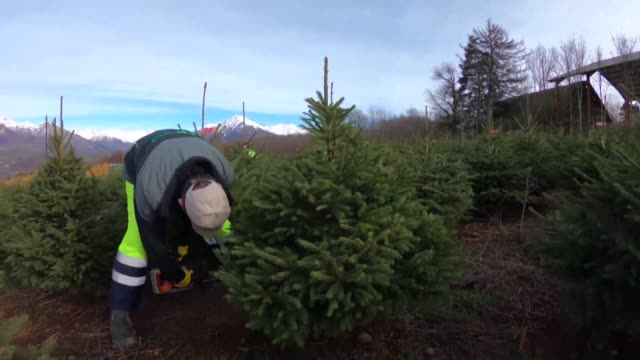red label fir trees are cut later are fresher and simply look better when they are used as christmas trees: but they are grown in only three... - simply red stock videos & royalty-free footage