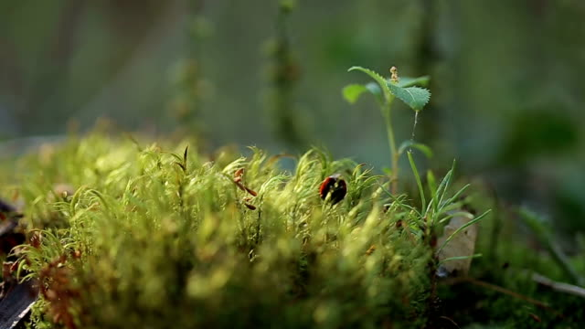 Red ladybug crawling on the moss.
