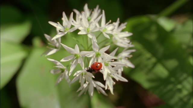 vídeos y material grabado en eventos de stock de a red ladybug crawls on a wild garlic flower. - mariquita