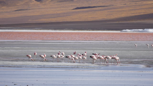 Red Lagune Atacama Bolivia with flamingos