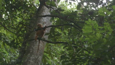 vidéos et rushes de red leaf monkey in tree - petit groupe d'animaux