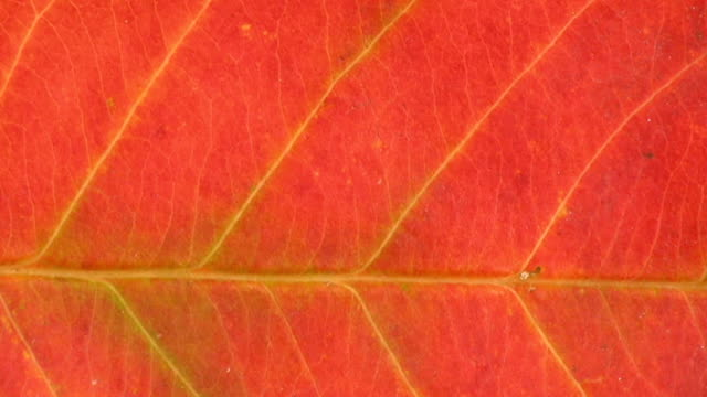 hd: red leaf vein - leaf vein stock videos and b-roll footage