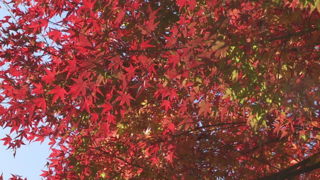 red leaves cover a japanese maple tree. - japanese maple stock videos & royalty-free footage