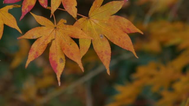 Red Leaves, Hakone, Kanagawa, Japan