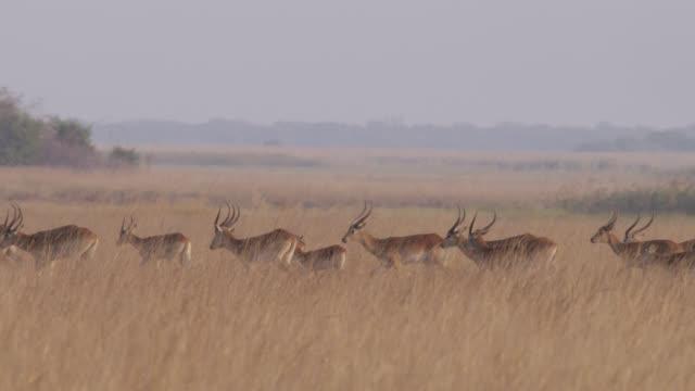 red lechwe antelope (kobus leche) walk on savannah, zambia - herd stock videos & royalty-free footage