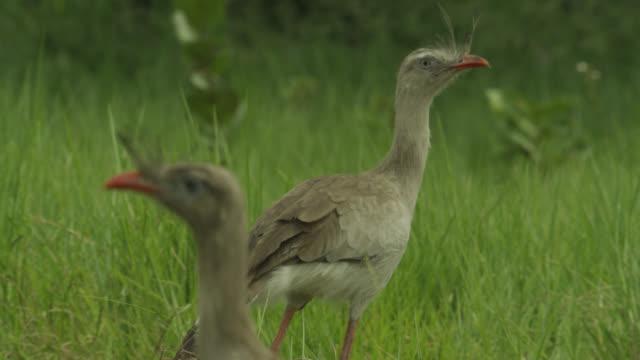 Red legged seriemas (Cariama cristata) walk through grassland.