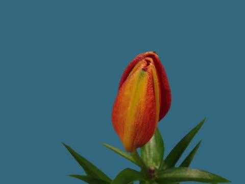 t/l cu red lily blooming  - ståndare bildbanksvideor och videomaterial från bakom kulisserna