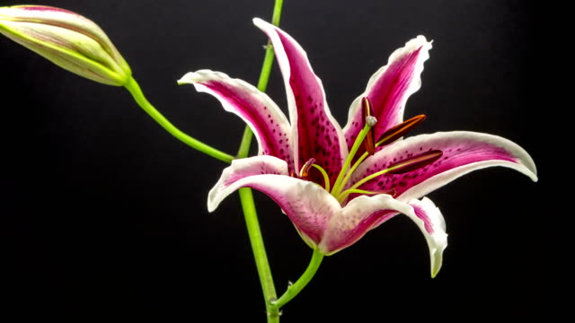 vídeos de stock e filmes b-roll de red lily flower blooming in a 4k time lapse video on a blue background. time lapse of stargazer lilium in motion. - lírio