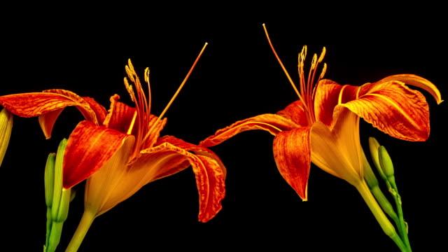 黒の背景にビデオの時間経過の咲く赤いユリの花。時間の経過はリリウムの動き。 - 花粉点の映像素材/bロール