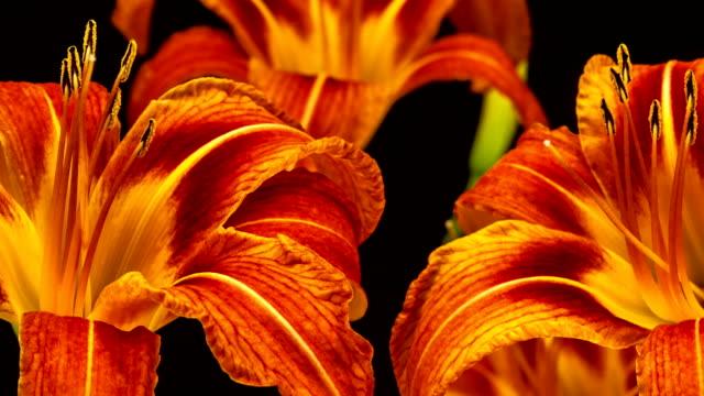 黒の背景にビデオの時間経過の咲く赤いユリの花。時間の経過はリリウムの動き。 - ユリ点の映像素材/bロール