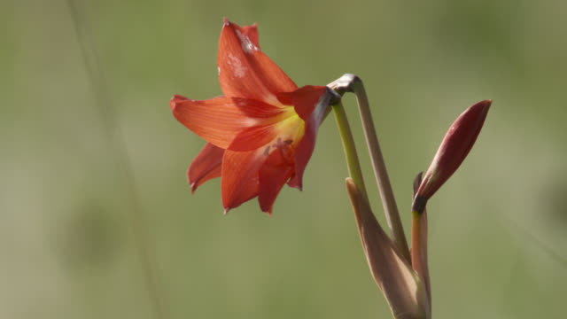 red lily flower. - giglio video stock e b–roll