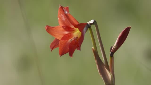 vidéos et rushes de red lily flower. - lis