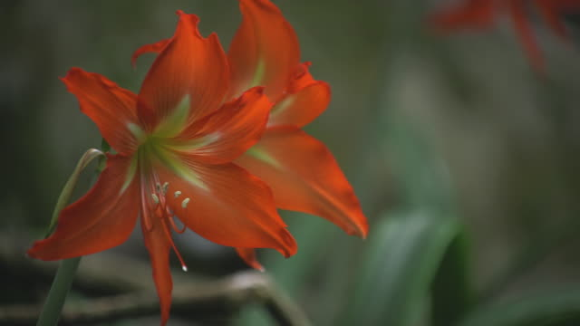 red lily flowers, ascension island - lily stock videos & royalty-free footage