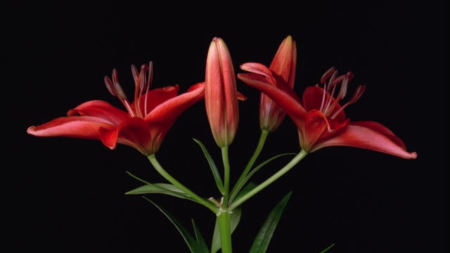 vídeos y material grabado en eventos de stock de t/l, cu, red lily flowers opening against black background - cuatro objetos