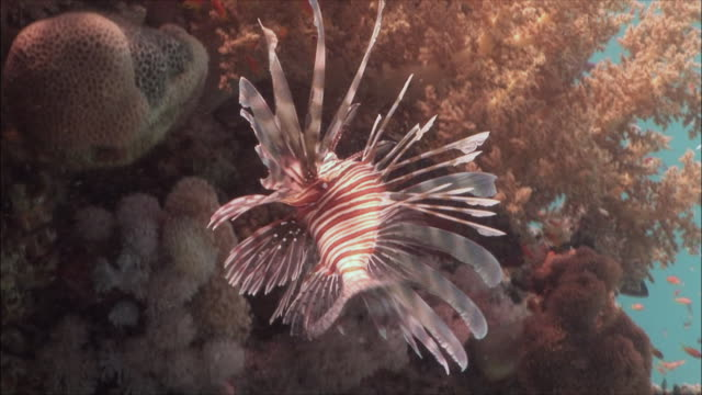 MS Red lionfish (Pterois volitans) hunting over reef in Red Sea / Sharm-el-Sheikh, Egypt