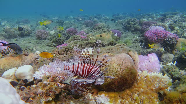 red lionfish ( pterois volitans ) or zebrafish on coral reef / red sea - lionfish stock videos & royalty-free footage