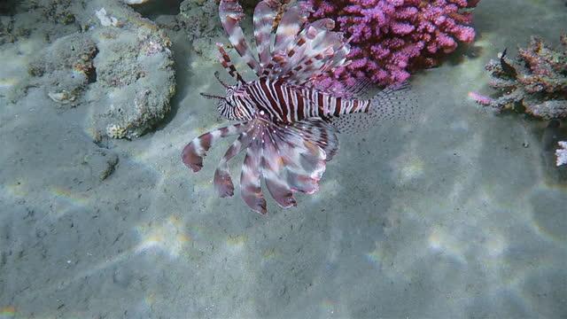 red lionfish ( pterois volitans ) or zebrafishon red sea - lahami bay - marsa alam - egypt - lionfish stock videos & royalty-free footage