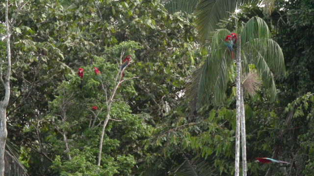 red macaws perched in palm tree, including fly by, high speed - macaw stock videos & royalty-free footage