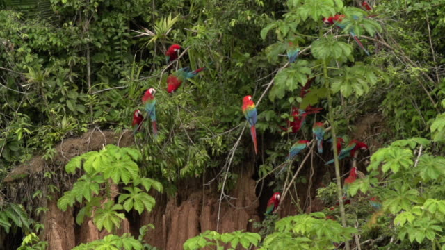 red macaws perched on clay lick, movement, high speed - rio delle amazzoni video stock e b–roll