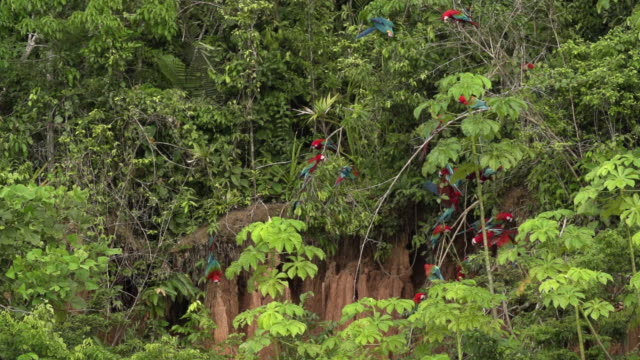 red macaws perched on clay lick, some fly, wide high speed - rio delle amazzoni video stock e b–roll