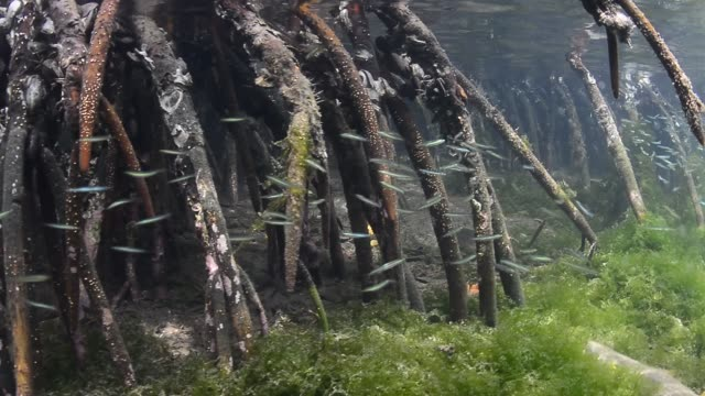red mangrove roots. - mangrove forest stock videos & royalty-free footage