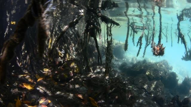 stockvideo's en b-roll-footage met red mangrove roots. - kokerworm