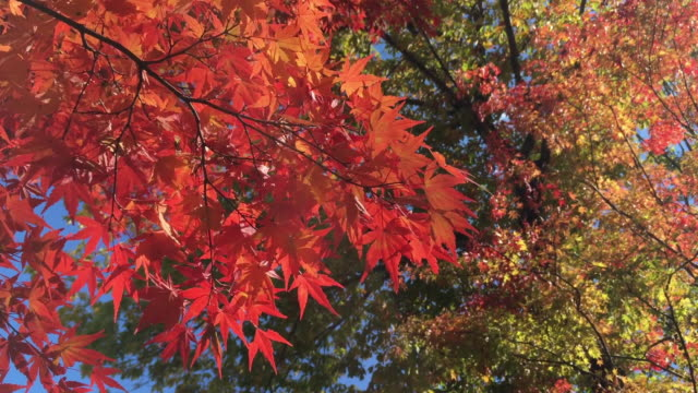 hd red maple leaf and blue sky in autumn at sonota, hara-mura, suwa-gun, nagano-ken japan - maple leaf stock videos and b-roll footage