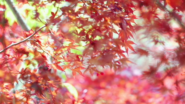 red maple leaf autumn background - autumn leaf color stock videos and b-roll footage