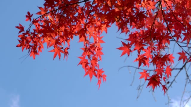 red maple leaf moving in the wind. - maple leaf stock videos and b-roll footage