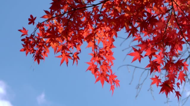 red maple leaf moving in the wind. - maple leaf stock videos & royalty-free footage