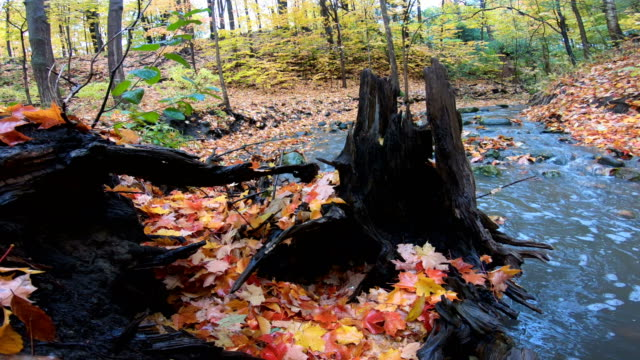red maple leaf near a rushing stream - ruscello video stock e b–roll