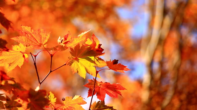 red maple leaf - autumn stock videos & royalty-free footage