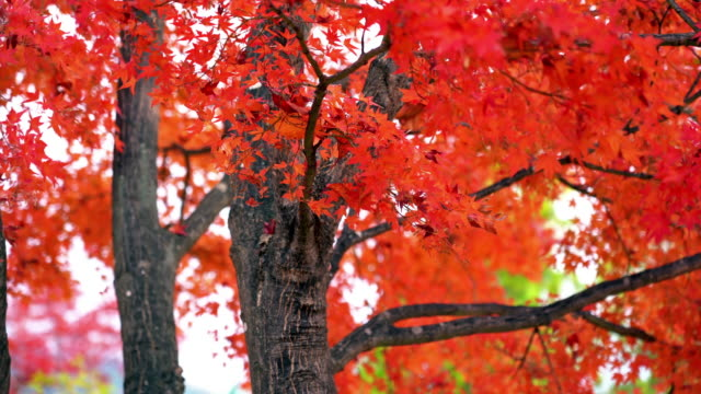 red maple leaf - maple tree stock videos and b-roll footage