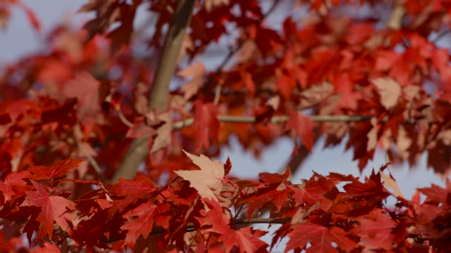 風が優しく吹いて赤いカエデの葉 - 色が変わる点の映像素材/bロール