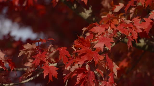赤いカエデの葉が風に吹かれて - 色が変わる点の映像素材/bロール